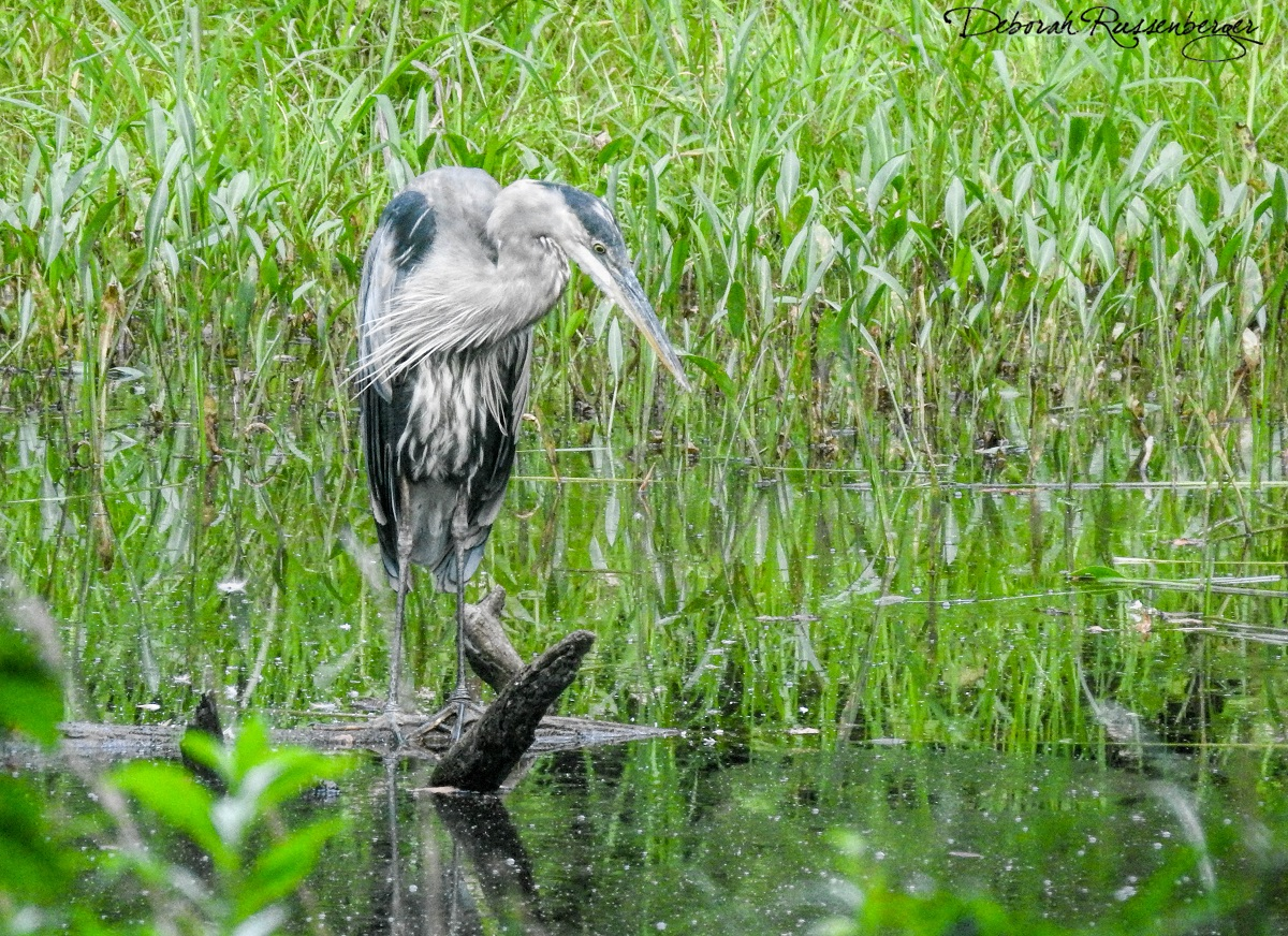 Blue Heron at the Pond