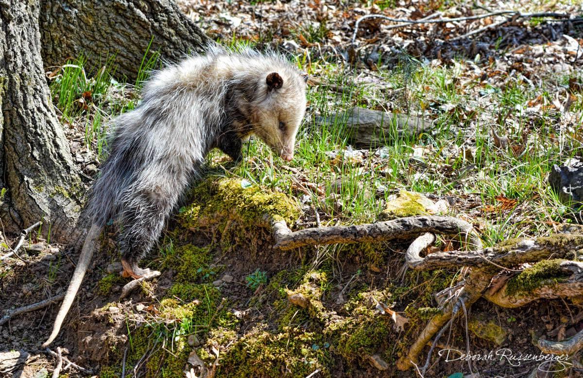 Possum Pete